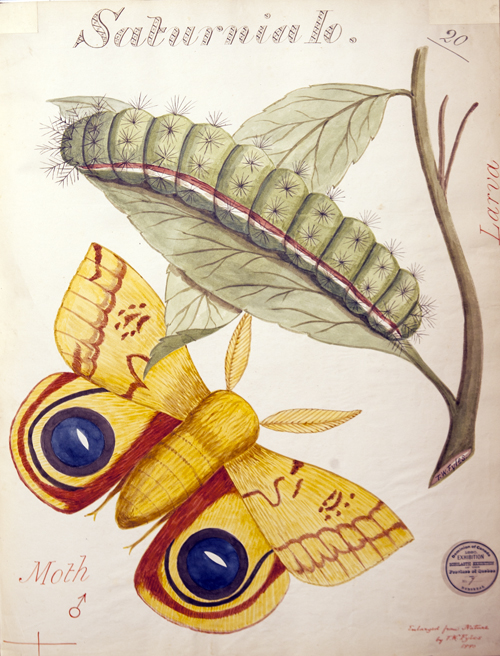 "The University of Guelph Library archives hold several water-colour drawings by Rev. Thomas Fyles, a member of the Montreal branch of the Entomological Society of Ontario. He painted this larvae and moth in 1901. ""It represents the typical depiction of the insect world at the time,"" says Prof. Mark Sears. ""How  far have we come in 100 years."""