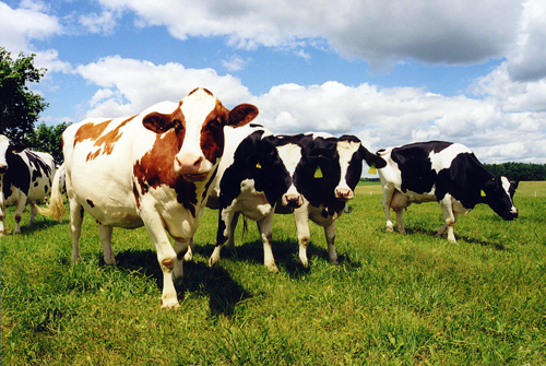 Cows with strong immune systems can be used to breed healthier generations.