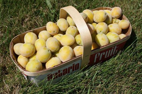 Yellow European prunes