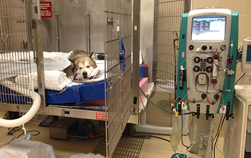 Dog receives continuous renal replacement therapy at the Ontario Veterinary College.