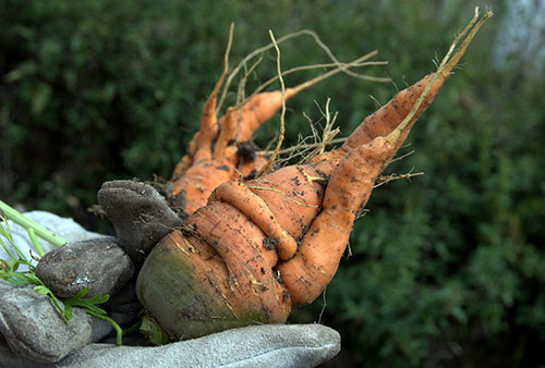 Imperfect carrot is just as nutritious as other produce says Prof. Mike von Massow in Guelph's School of Hospitality, Food and Tourism Management.