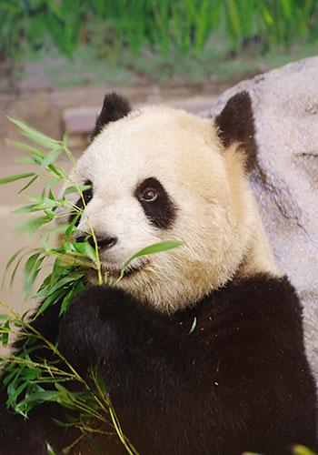 Giant panda Er Shun at the Toronto Zoo