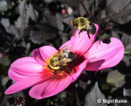 Raine two bumblebees