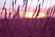 Study Looks at Health Benefits of Purple Wheat
