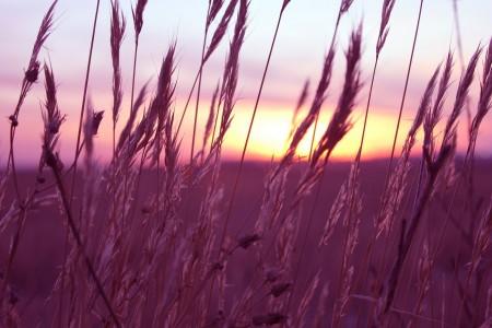 purple wheat