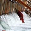Pipelines Affect Health, Fitness of Salmon, Study Finds