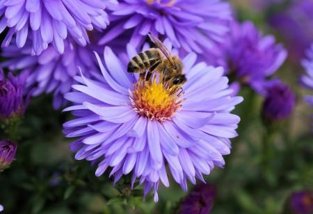 purple bee