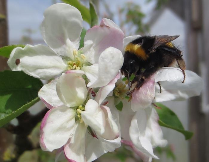 Bumblebee-pollinating