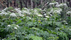 giant-hogweed-infestation