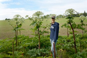 University of Guelph student studies giant hogweed.