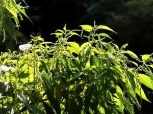 pollen-plant