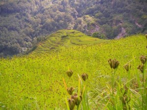finger millet fields