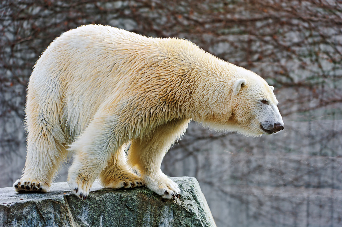 polar bear research at the University of Guelph