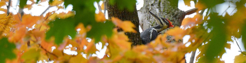 Woodpecker in the Arboretum