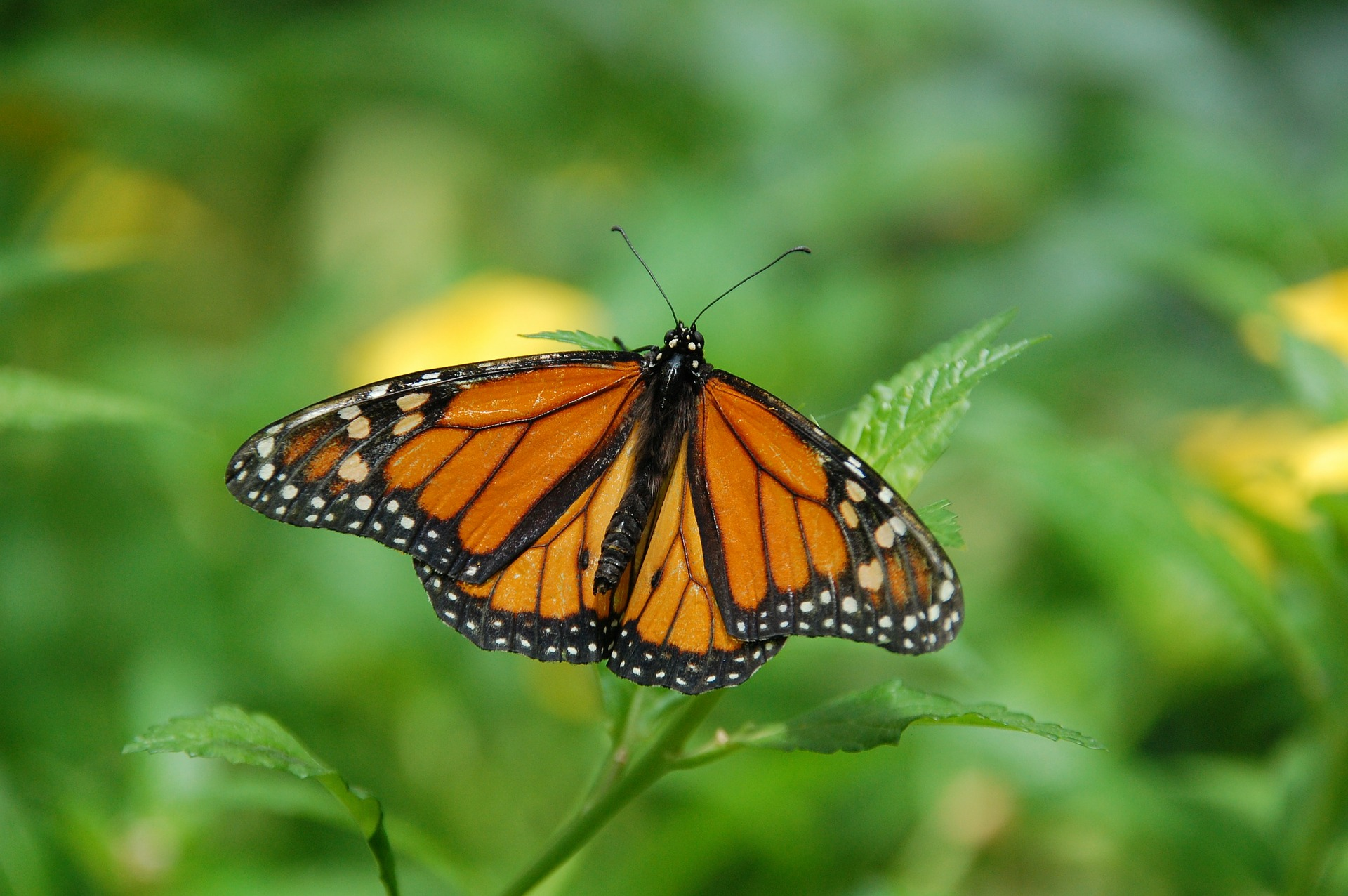 U Of G Researchers Identify Monarch Butterfly Birthplaces To Help Conserve Species Campus News