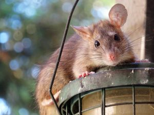 Urban rat research at the University of Guelph