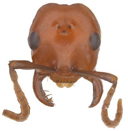 Polyergus ant