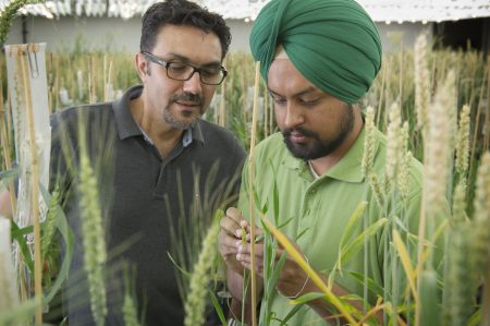 Researchers in a greenhouse look at wheat samples