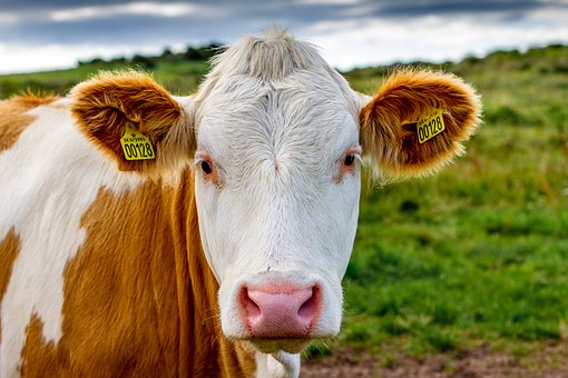 cows exude lots of methane  but taxing beef won u2019t cut