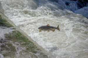 salmon fish jumping upstream