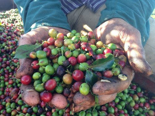 coffee beans in farmer's hands