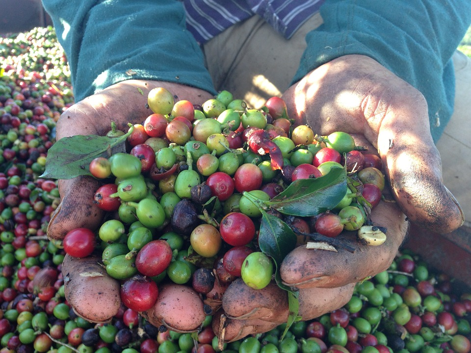 coffee beans in farmer's hands