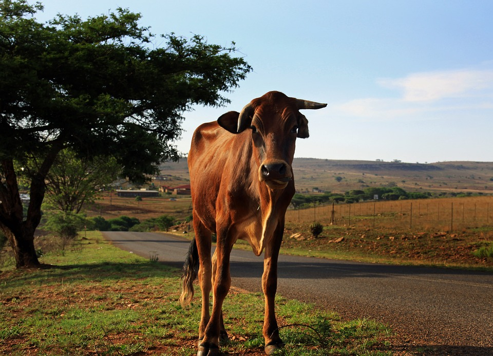 Cow standing on road around farm land in Africa