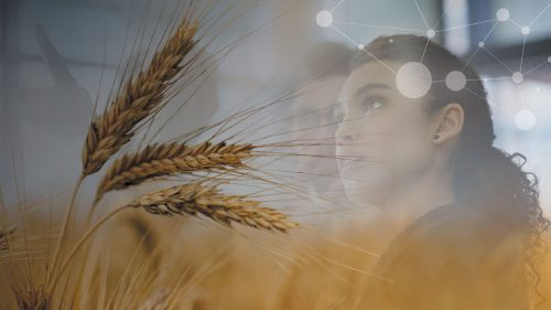 wheat field, woman looking at technology man in background