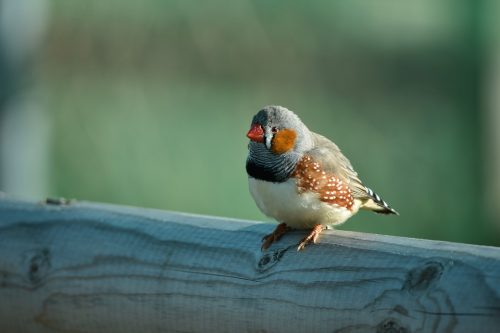 zebra finch sitting on a log