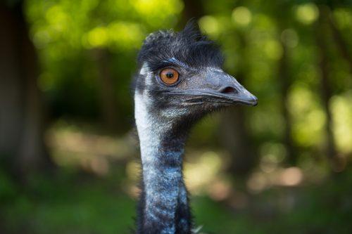 Emu headshot