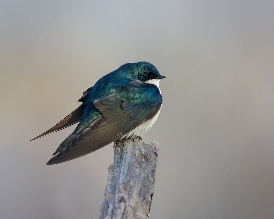 tree swallow sitting on a branch