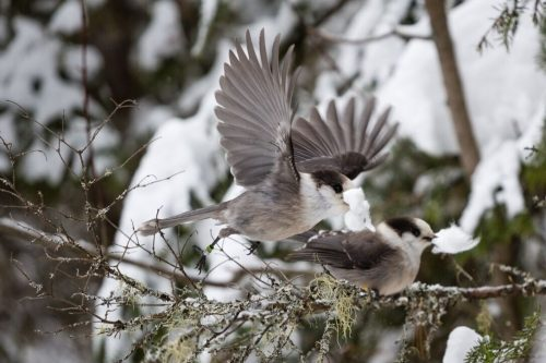Gray jay male and female