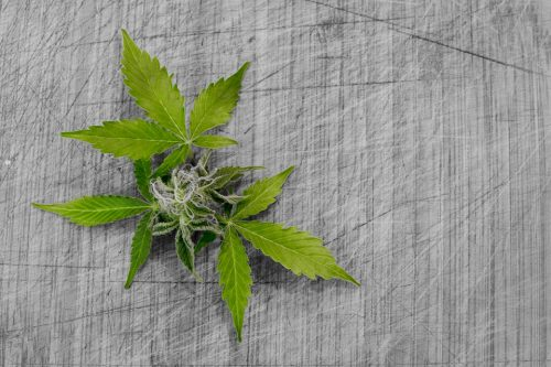 marijuana leaves in a decorative pattern laid out on a piece of fabric