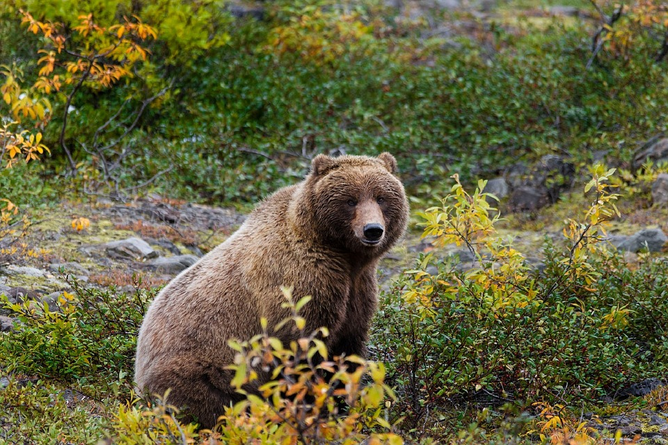 grizzly bear sitting in brush, looking at camera
