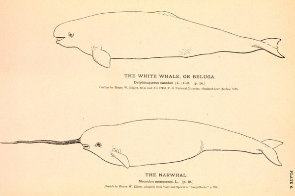A Narwhal Frolics With the Belugas: Why Interspecies Adoptions Happen