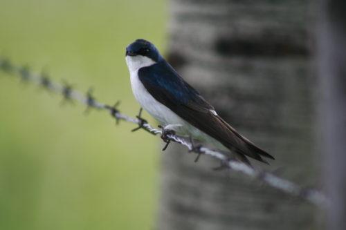 tree swaloow sitting on a fence wire