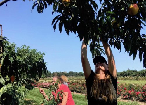 photo of a woman picking peaches from a tree at vinelands
