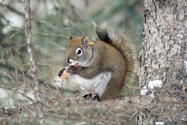 a Red Squirrel eating a cone
