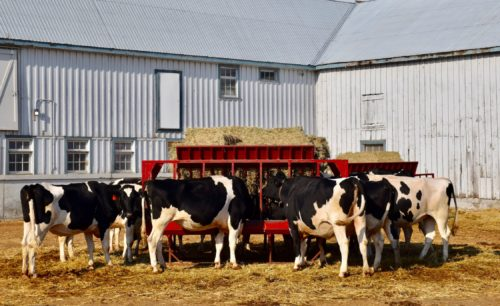 photo of a group of cows outside U of G's dairy barn