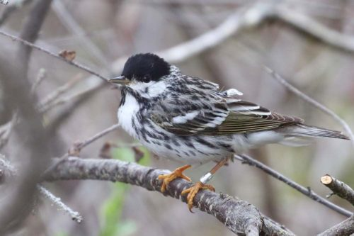 photo of a Blackpoll warbler perched in a tree