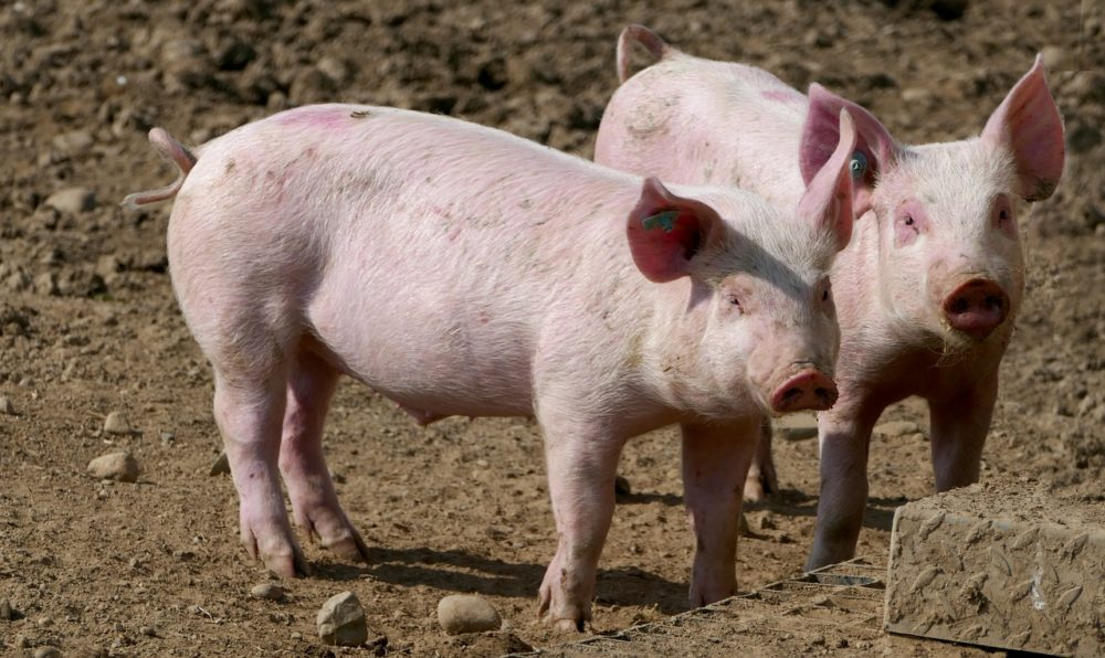 a photo of 2 pigs on a farm
