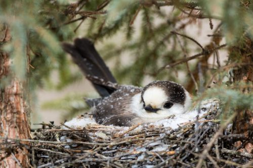 photo of a Canada Jay in a nest