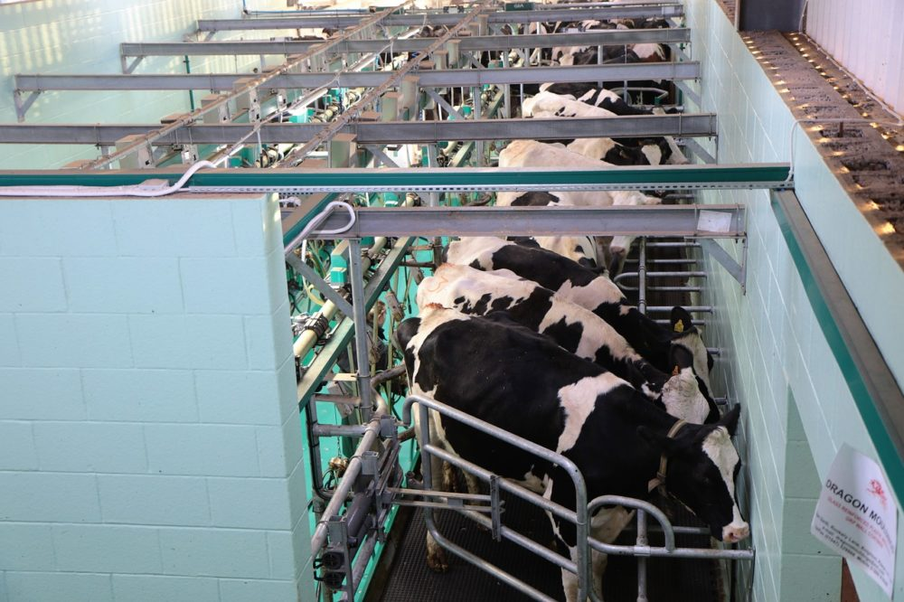 A photo of cows in an industrial dairy farm