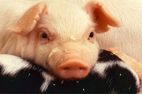 A photo of a piglet's face