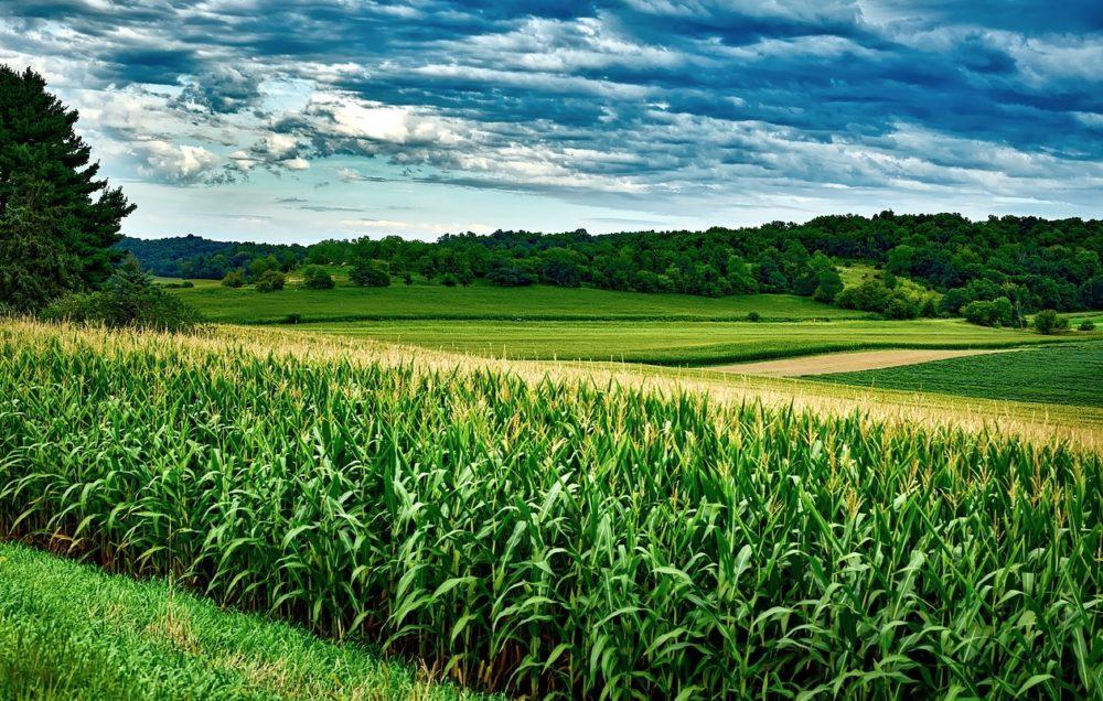 a photo of a corn field