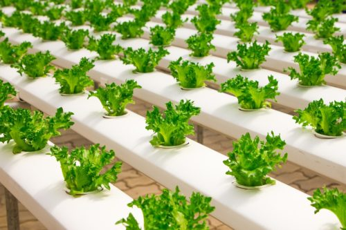a photo of rows of lettuce growing in a greenhouse