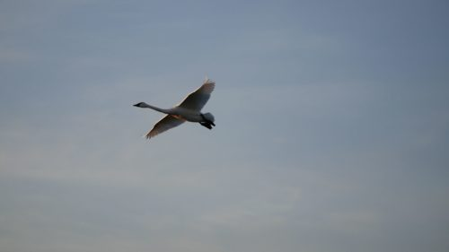 tundra swan flying in the air