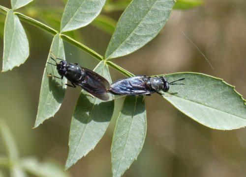 Two blackflies on green leaves
