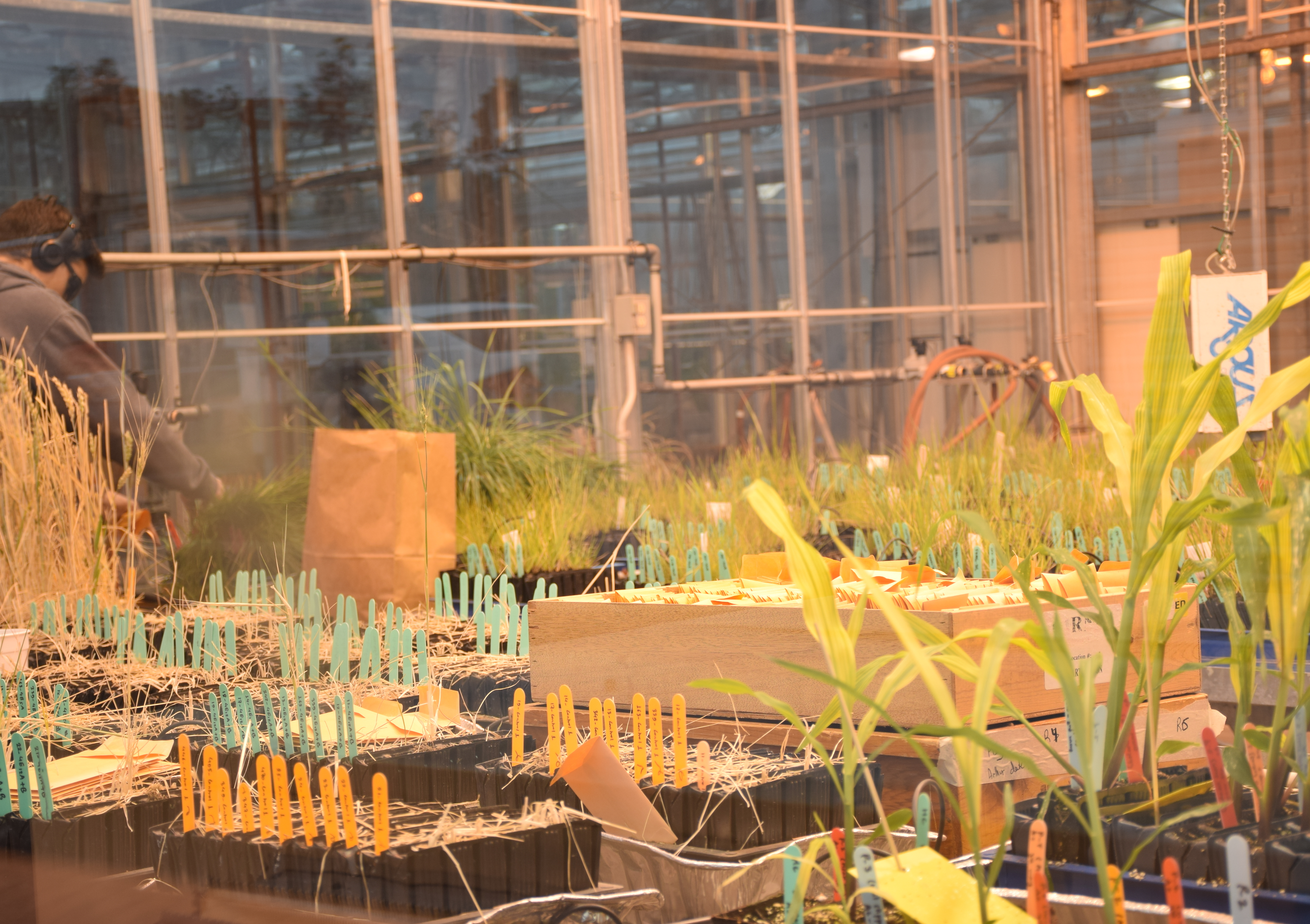Grasses in the U of G greenhouses