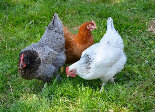 Three chickens peck on the grass